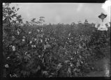 Warren Plantation Cotton